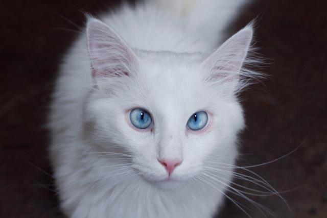 File:White Cat.jpg