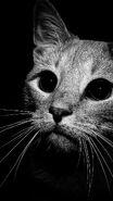 Cat-black-white-iphone-wallpaper-via-eyesofodysseus 60a29914cbd779b6f072979c59b6cfe9 raw
