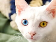 White-persian-cat-with-blue-eyes