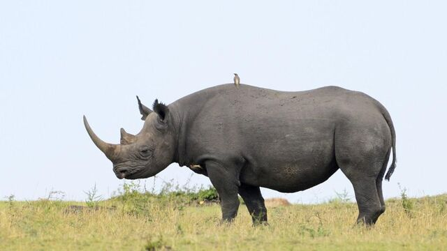 File:Bandit black-rhino form.jpg
