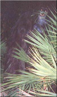 Myakka ape2 closeup
