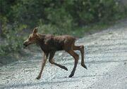 Baby-moose-running