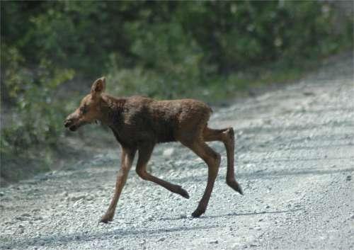 File:Baby-moose-running.jpg