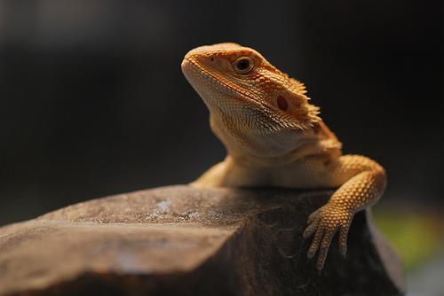 File:Lizardos nim-nom factor..jpg