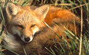 Fox01