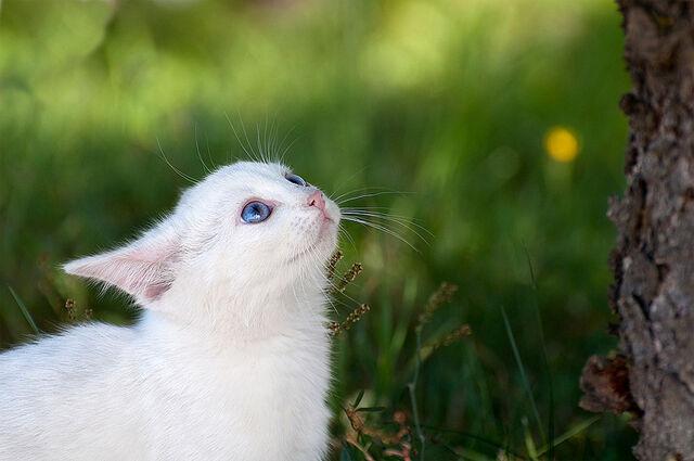 File:White-cat-blue-eyes.jpg