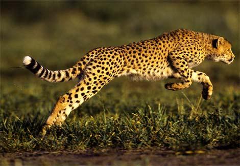 Cheetah-leaping