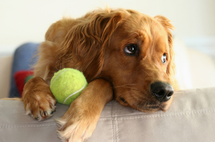File:Golden with Ball.jpg