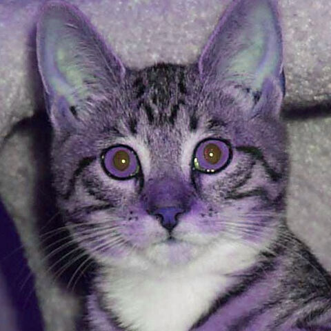 File:Purple cat.jpg