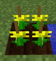 Dandelioncrop