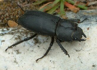 Dorcus parallelipipedus Lesser Stag Beetle