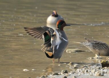 Green Winged Teal 3- S.Allen