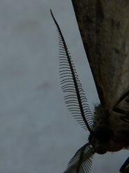 Willow Beauty Antennae