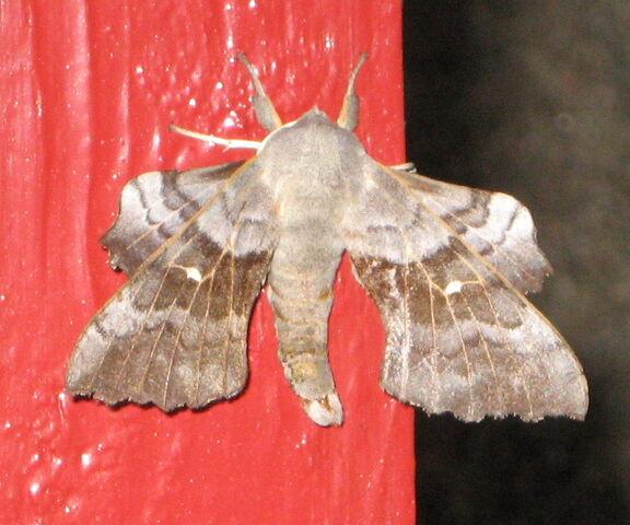 File:Poplar Hawk Moth.jpg