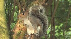 Grey Squirrel(2)