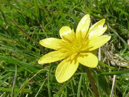 Yellow Celandine
