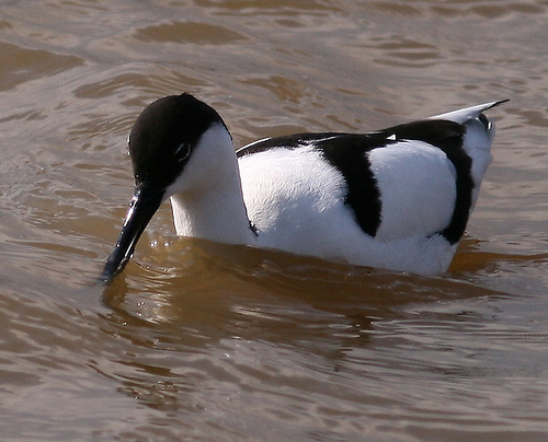 File:Avocet2.jpg