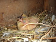 Baby Woodpigeons