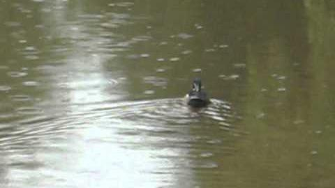 Wood Duck, Aix sponsa, swimming
