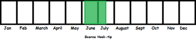 Scarce Hook-tip TL