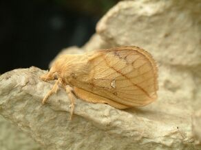 Euthrix potatoria Drinker