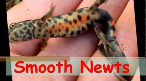 Herping For Smooth Newts