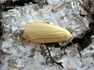 Dingy footman (form stramineola)