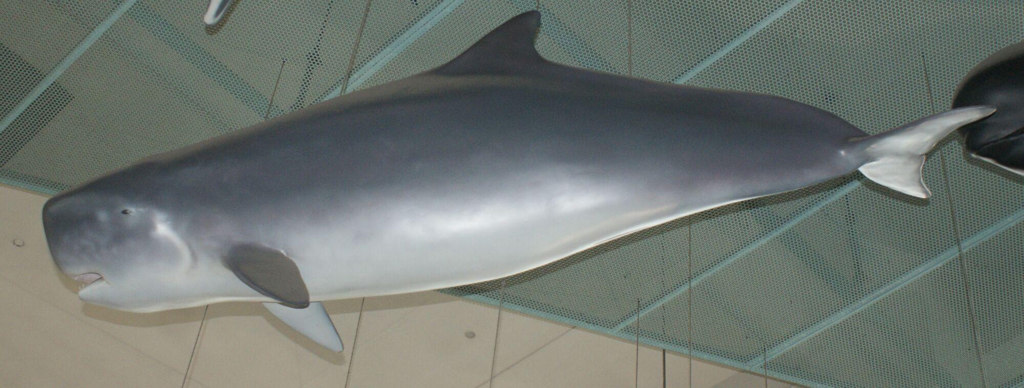 the Habitat whale sperm of pygmy