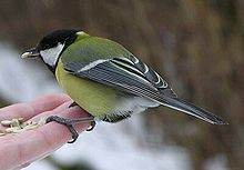 File:Great tit.jpg