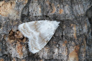 Kent Black Arches 2