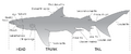 Shark Anatomy.png