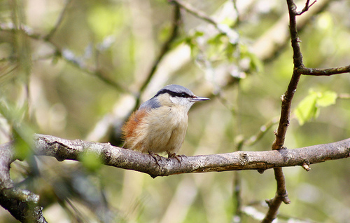 File:Nuthatch.jpg