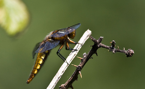 File:Female Broad bodied chaser.jpg