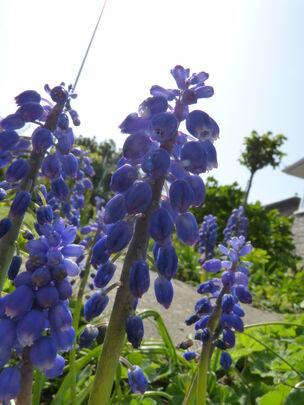 Garden Grape-Hyacinth