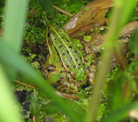 File:Pool Frog.jpg