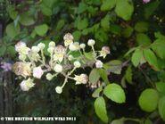 Black Berry Flowers