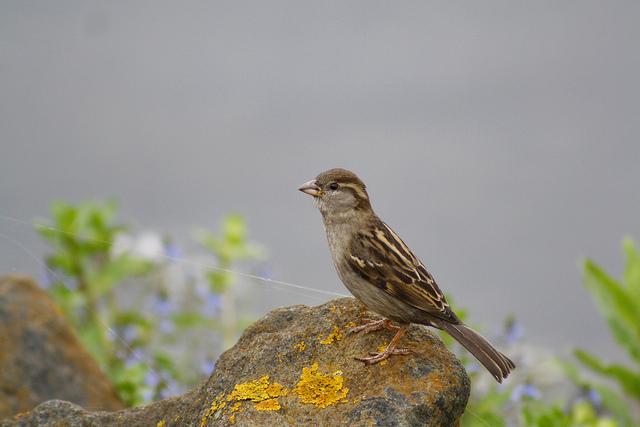 File:House Sparrow F.jpg