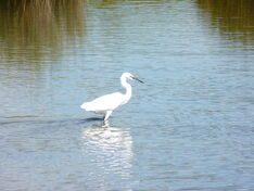 Little Egret ~ Radipole Lake