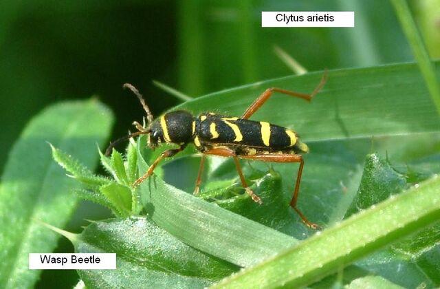 File:Wasp Beetle.JPG