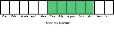 Common Field Grasshopper TL