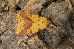 Pink-barred Sallow 1