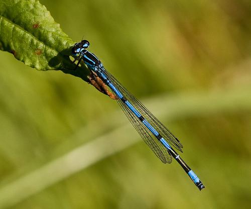 File:Common Blue damselfly.jpg