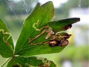 Aquilegia leaf