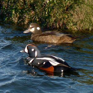Harlequin Duck pair - Flickr