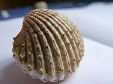 Spiny Cockle Close