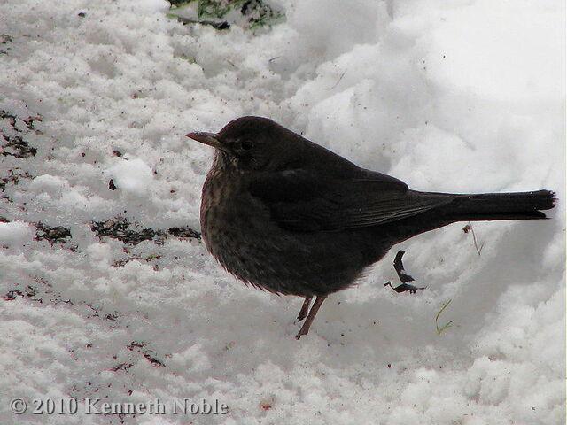 File:Blackbird (2).jpg