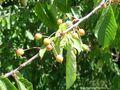 Bird Cherry Fruits.jpg