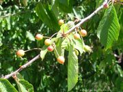 Bird Cherry Fruits
