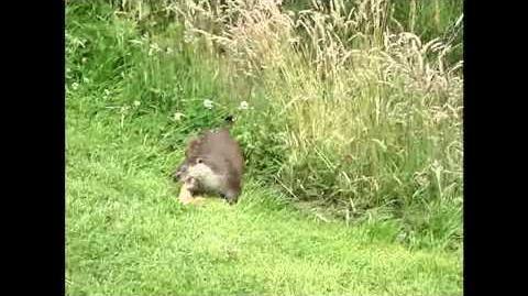 British Wildlife Clips - Eurasian Otter
