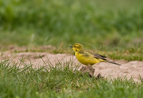 File:Yellow Wagtail.jpg